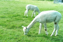 TOFT - The Alpaca Farm